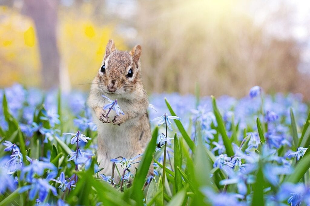 Chipmunk eating a blue flower